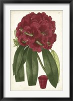 Antique Rhododendron I Framed Print