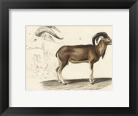 Framed Antique Antelope & Ram Study