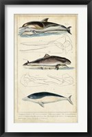 Framed Antique Whale & Dolphin Study II
