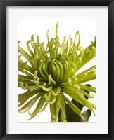 Framed Green Chrysanthemum 1