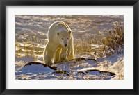 Framed Churchchill Polar Bear