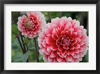 Framed St Andrews Dahlia Flowers