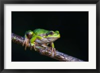 Framed Tree Frog in Lake Neusiedl