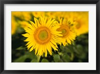Framed Sunflower Field in France, Provence
