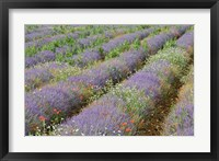Framed Rows of Lavender in France