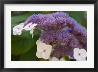 Framed Hydrangea Bloom at Dr Sun Yat-Sen Chinese Garden