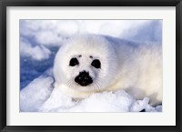 Framed Harp Seal Pup at Gulf of St Lawrence
