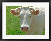 Framed Charolais Cow