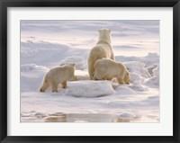 Framed Polar Bear in Churchill