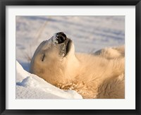 Framed Sleeping Polar Bear