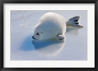 Framed Harp Seal Pup on Ice