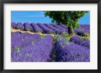 Framed Lavender Tree, France