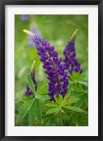 Framed Lupine Flowers