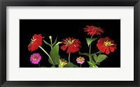 Framed Mixed Zinnias