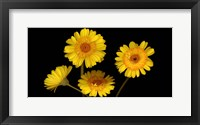Framed Yellow Gerbera Daisies