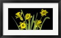 Framed Daffodils 4