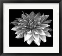 Framed Perfect Dahlia 1