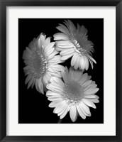 Framed Gerbera Daisy