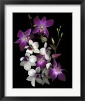 Framed Dendrobium Orchids