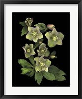 Framed Lenten Rose
