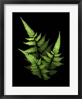 Framed 3 Ferns