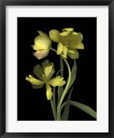Framed Yellow Dutch Tulip 1