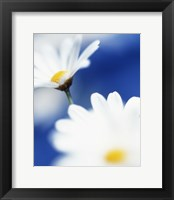 Framed White Daisies