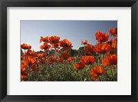 Framed Field of Red