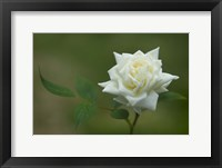 Framed Pretty Rose