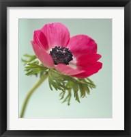 Framed Pink Anemone