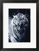 Framed White Tiger 2