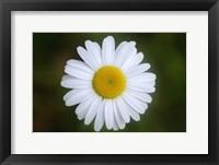 Framed Shades Of Nature White Daisy