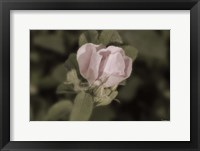 Pink Flower Closeup I Framed Print
