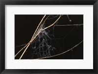 Framed Spider Web Covered In Dew