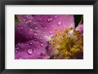 Pink And Yellow Flower With Dew II Framed Print
