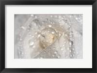 White Rose Closeup With Dew I Framed Print