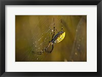 Framed Yellow Spider On The Web