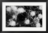 Framed Wildflower Blooms In Black And White