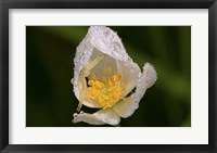 Framed North Shore White Flower With Dew