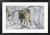 Framed Zoo Wolf 3