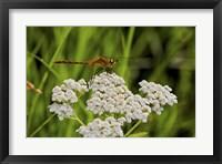 Framed Orang Dragonfly On White Wild Flowers