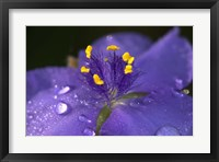 Purple And Yellow Flower After Rain II Framed Print