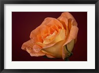 Framed Orang Rose On Red Glow Closeup