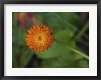 Framed North Shore Orange Flower