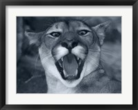 Framed Cougar