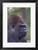 Framed Gorilla Portrait