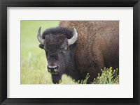 Framed Buffalo Closeup I