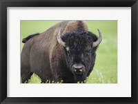Buffalo Closeup II Framed Print