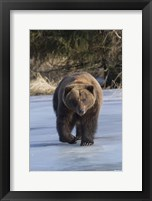 Framed Bear On The Prowl