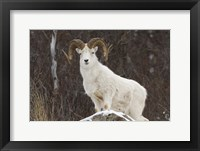 White Ram Brown Horns I Framed Print